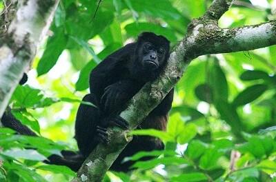 FCPP Develops Plan for Azuero Monkeys
