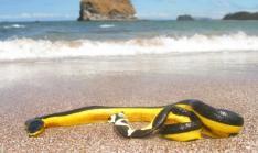 Serpiente Marina Venenosa en Playas de Los Santos